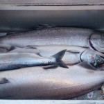 Columbia River Summer Chinook Salmon Fishing